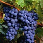 La uva: alimento y medicina