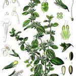 Beneficios de la planta más apreciada en aromaterapia y fitoterapia